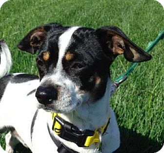 Jack Russell Terrier Mix Dog for adoption in San Francisco, California - Cinco