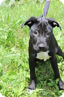 Shepherd (Unknown Type)/Labrador Retriever Mix Puppy for adoption in Waldorf, Maryland - Cole