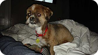 Lhasa Apso/Shih Tzu Mix Dog for adoption in Warren, Michigan - Coco