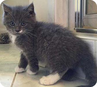 Domestic Shorthair Kitten for adoption in Merrifield, Virginia - Bubba