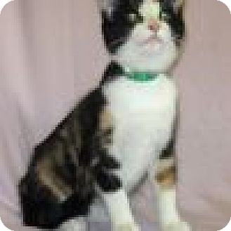 Domestic Shorthair Cat for adoption in Powell, Ohio - Willow
