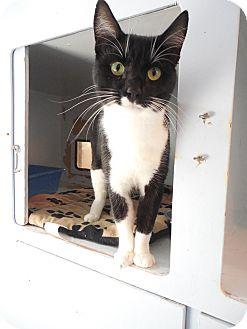 Domestic Shorthair Cat for adoption in Port Coquitlam, British Columbia - Stanley