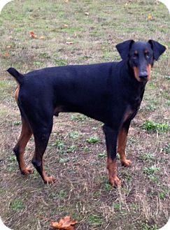 Doberman Pinscher Dog for adoption in Salem, Oregon - Rowdy