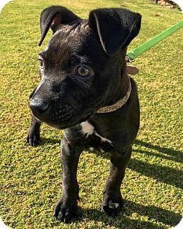 American Staffordshire Terrier Puppy for adoption in Huntington Beach, California - Killian