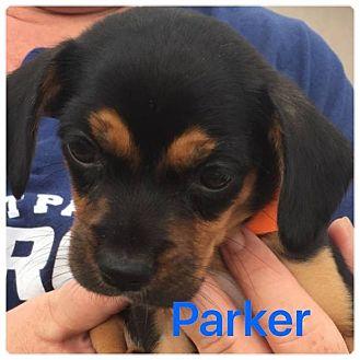 Cocker Spaniel/Basenji Mix Puppy for adoption in Palm Harbor, Florida - Parker