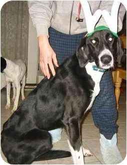 Greyhound/Pointer Mix Dog for adoption in New Carlisle, Indiana - Cassie