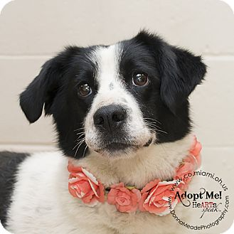 Border Collie Mix Dog for adoption in Troy, Ohio - Claire