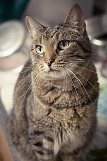 Domestic Shorthair Cat for adoption in Chattanooga, Tennessee - Jada