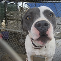 Pit Bull Terrier Mix Dog for adoption in Lancaster, California - Nikki