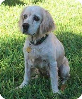 Cocker Spaniel Dog for adoption in Austin, Texas - Niko