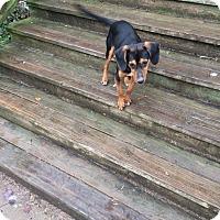Adopt A Pet :: Smokey - Hohenwald, TN