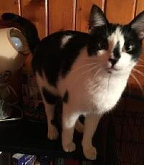 American Shorthair Cat for adoption in Sedalia, Missouri - August