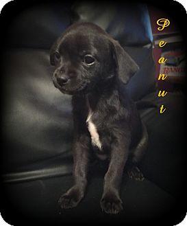 Papillon/Chihuahua Mix Puppy for adoption in Denver, North Carolina - Peanut