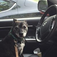 Boston Terrier/Terrier (Unknown Type, Medium) Mix Dog for adoption in Beacon, New York - Tyke