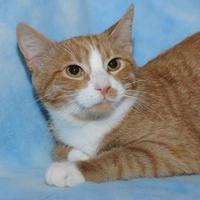 Adopt A Pet :: A.J - Elk Grove Village, IL