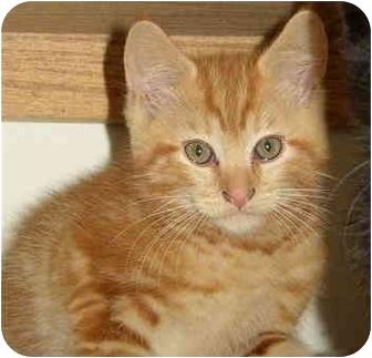 Domestic Longhair Cat for adoption in Ellensburg, Washington - Opie