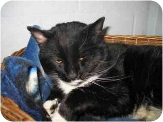 Domestic Shorthair Cat for adoption in Mission, British Columbia - Willis