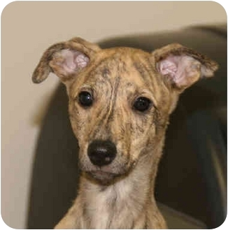 Greyhound Mix Puppy for adoption in Santa Rosa, California - Thelma