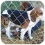 Photo 2 - Beagle Dog for adoption in Indianapolis, Indiana - Buzz