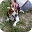 Photo 1 - Beagle Dog for adoption in Buffalo, New York - Daisie: PUREBRED