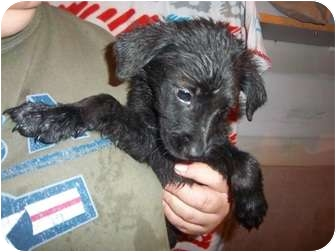 Border Collie Mix Puppy for adoption in Westminster, Colorado - Mau