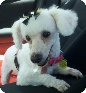 Poodle (Toy or Tea Cup) Dog for adoption in Melbourne, Florida - ELISE