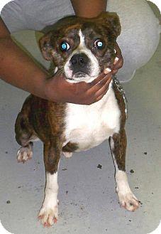 Boston Terrier Mix Dog for adoption in Fort Smith, Arkansas - BONGO