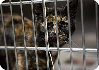 Domestic Shorthair Cat for adoption in Chilhowie, Virginia - Jada