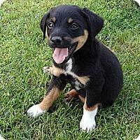 Adopt A Pet :: *Callie - PENDING - Westport, CT