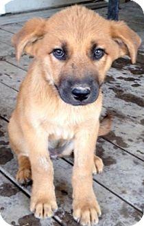 Labrador Retriever/German Shepherd Dog Mix Puppy for adoption in Austin, Texas - Jayna