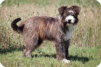 Old English Sheepdog/Australian Shepherd Mix Dog for adoption in Jackson, Idaho - Mo