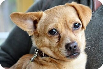 Chihuahua/Pug Mix Dog for adoption in Smithers, British Columbia - Q