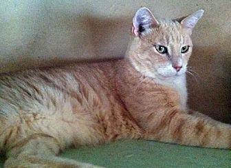 Domestic Shorthair Cat for adoption in Sherman Oaks, California - Jared