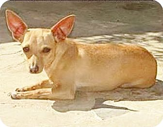 Dachshund/Chihuahua Mix Dog for adoption in Inland Empire, California - NOODLE