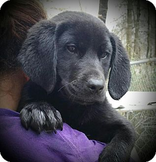 Labrador Retriever Mix Puppy for adoption in East Hartford, Connecticut - Garrus Adoption Pending