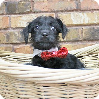 Terrier (Unknown Type, Small)/Chihuahua Mix Puppy for adoption in Benbrook, Texas - Aladdin