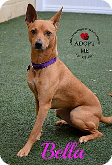 Basenji/Terrier (Unknown Type, Medium) Mix Dog for adoption in Youngwood, Pennsylvania - Bella