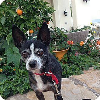 Chihuahua Dog for adoption in Scottsdale, Arizona - Lucky--No Adoption Fee!