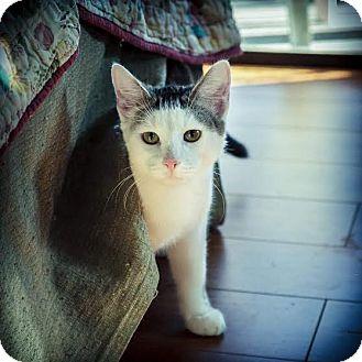 Domestic Shorthair Cat for adoption in Los Angeles, California - Cruz