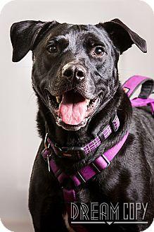 Labrador Retriever Mix Dog for adoption in Owensboro, Kentucky - Jake- DRD graduate