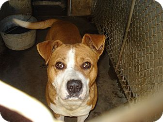 Pit Bull Terrier Mix Dog for adoption in Henderson, North Carolina - Neo*
