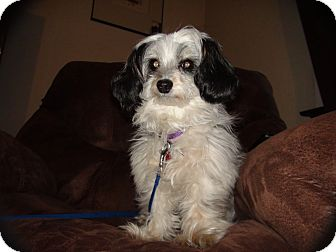 Poodle (Miniature)/Papillon Mix Dog for adoption in Grass Valley, California - Abbie