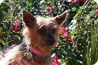 Yorkie, Yorkshire Terrier Mix Dog for adoption in Houston, Texas - Taffy Love