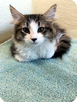 Domestic Longhair Kitten for adoption in Las Vegas, Nevada - Polly
