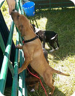 Shepherd (Unknown Type)/Australian Cattle Dog Mix Puppy for adoption in Ogden, Utah - Matilda