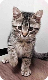 Domestic Shorthair Kitten for adoption in Hinsdale, Illinois - ADOPTED!!!   Shelby