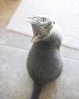 Domestic Shorthair Cat for adoption in Houston, Texas - Smokey