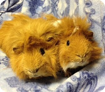 Guinea Pig for adoption in Cheektowaga, New York - Chowder and Mr.Pickles
