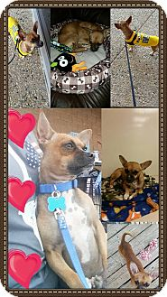 Chihuahua Mix Dog for adoption in Snyder, Texas - Gomez