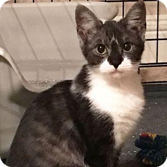 Domestic Shorthair Kitten for adoption in Arlington/Ft Worth, Texas - Wrigley